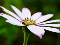Spider on daisy Royalty Free Stock Image