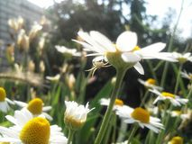 Spider on daisy petal. Funny little spider is hanging on sunny bright daisy petal stock photos