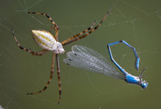 Spider with damselfly Stock Photography