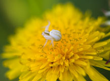 Spider on a dandelion Royalty Free Stock Image