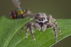 Spider with dead fly Stock Image
