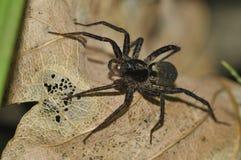 Spider on dead leaf Stock Photos