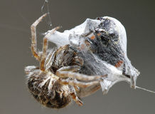 Spider and devouring trapped prey Royalty Free Stock Photo