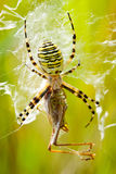 Spider devours grasshopper Royalty Free Stock Photography