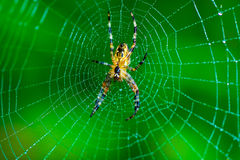 Spider in a Dew Covered Web Stock Photography