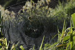 Spider in a Dew Covered Web Stock Photo