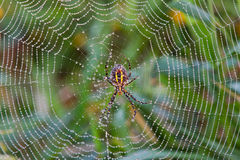 Spider in Dew Covered Web. A spider in a dew covered Web in the summrer morning Royalty Free Stock Photography