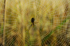 Spider in dew covered web Stock Image