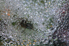 Spider on a dew covered web Stock Image