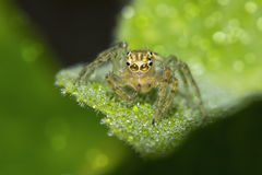 Spider on dew Stock Photos