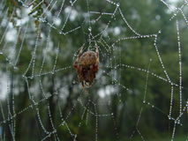 Spider in dewed web. Spider in spider web of dew royalty free stock photography