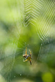 Spider on dewy web. Cross orb weaver spider relaxing in the middle of its web Royalty Free Stock Photography