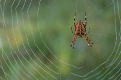 Spider on dewy web Stock Image