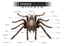Spider diagram. Tarantula spider eurypeima spiciness species diagram on white background royalty free stock image