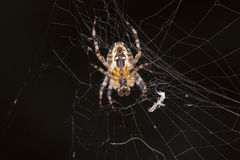 Spider does cobweb. Close up Stock Images