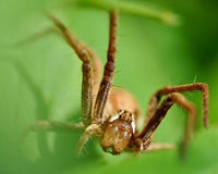 Spider Dolomedes Royalty Free Stock Images