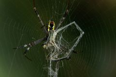 Spider and Dragon. A close-up photograph of dragonfly being caught in the web of a spider Stock Photo