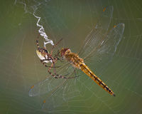 Spider with dragonfly Royalty Free Stock Images
