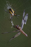Spider and dragonfly in web Stock Photo