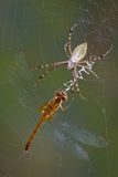 Spider with dragonfly in web Royalty Free Stock Images