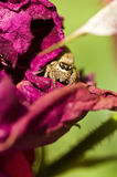 A spider in a dried rose Stock Images