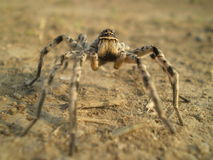 Spider on dry land Stock Photo