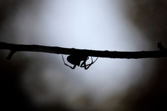 Spider at dusk Royalty Free Stock Photos