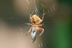 Spider easting a fly in a web royalty free stock photos