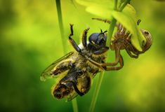 Spider that eat bee. Danger is everywhere for a bee, Spider that eat bee, Spider order Araneae are air-breathing arthropod that have eight legs and chelicerae royalty free stock photos
