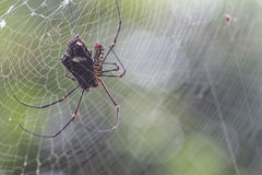 Spider eat butterfly Stock Photo