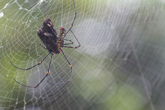 Spider eat butterfly Royalty Free Stock Photos
