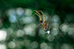 Spider eat caught insect Stock Photography