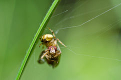 Spider eat fly in nature Royalty Free Stock Photography