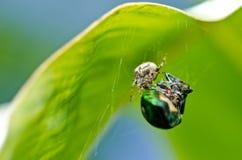 Spider eat jewel beetle Stock Photo