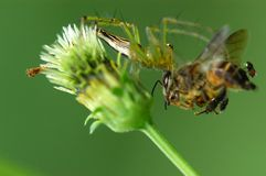 Spider Eating A Bee Stock Photography