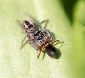 Spider eating an ant. macro Stock Image