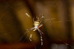 Spider eating the bait and is about to eat it royalty free stock photography