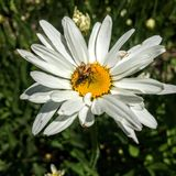 Spider eating bee on Daisy in Utah America USA. Spider eating trapped bee on Daisy in Utah America USA Royalty Free Stock Photos
