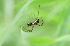 Spider eating bug on net from rainforest Stock Images