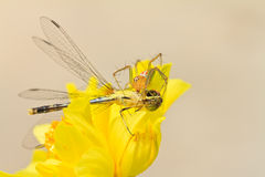 Spider eating dragonfly Royalty Free Stock Photo
