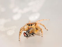Spider eating a fly Royalty Free Stock Photography