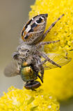 Spider Eating Fly Stock Images