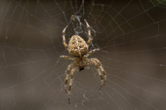 Spider eating a fly Royalty Free Stock Photos