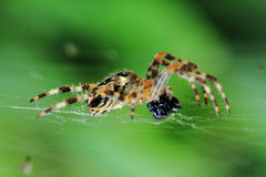 Spider is eating fly. Small brown spider is eating black fly Stock Photography