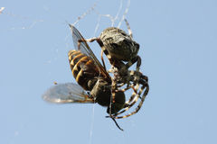 Spider eating gadfly Royalty Free Stock Photos