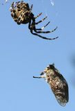 Spider eating gadfly Royalty Free Stock Photo