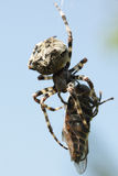 Spider eating gadfly Stock Photos