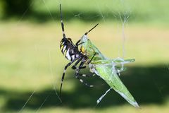 Spider eating a grasshopper Royalty Free Stock Photos
