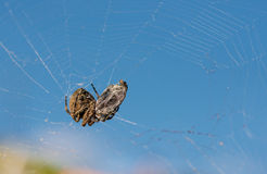 Spider eating his prey. Stock Image