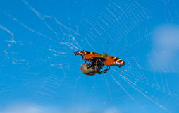 Spider eating his prey. Royalty Free Stock Image